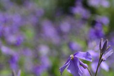 Violet orychophragmus
