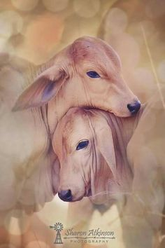 Thoe babies right there! Nature Animals, Farm Animals, Animals And Pets, Cute Animals, Wild Animals Photography, Cow Pictures, Kiss Art, Indian Art Paintings, Cute Cows