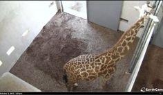Giraffe Cam: Watch a mother giraffe close to baby time!