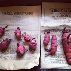 #crazycreatures #oca #therealseedcatalogue ready to plant out