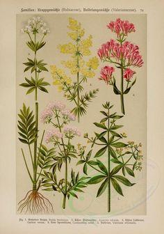 bouquets_flowers-00130 - rubia tinctorum, asperula odorata, galium verum, centranthus ruber, valeriana officinalis
