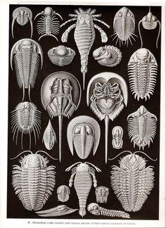 A form of art: Ernst Haeckel,Scientific drawing. A form of art: Ernst Haeckel, Dibujo científico. Ernst Haeckel Art, Art Et Nature, Natural Form Art, Horseshoe Crab, Jellyfish Art, Science Illustration, Nature Illustrations, Ocean Illustration, Creative Illustration
