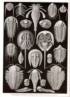 Ernst Haeckel arthropods