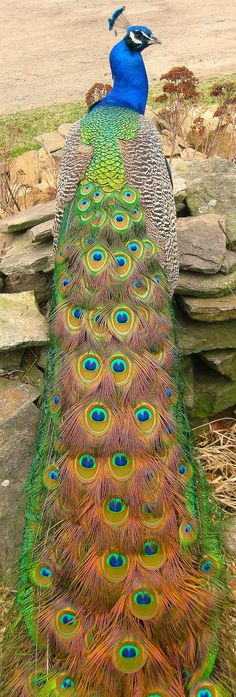 Gorgeous peacock in all his majestic glory....... One of natures most beautiful creations!