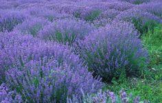 Lavendler - sådan planter og plejer du dig til flotte lavend Lavender Fields, Lavender Flowers, Green Garden, Outdoor Plants, Garden Inspiration, Beautiful Flowers, Garden Design, Gardening, Planting