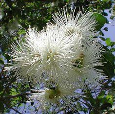 Syzygium smithii - Lilly Pilly