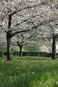 Hoogstamboomgaard, Limburg.