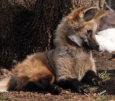 Maned wolf cub