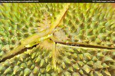peau du durian • durian fruit texture