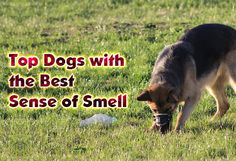 Dogs with the Best Sense of Smell  https://didyouknowpets.com/2017/08/21/dogs-with-the-best-sense-of-smell/