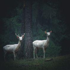White Deer in the woods — Sonja Lautner Beautiful Creatures, Animals Beautiful, The Secret History, Aesthetic Images, Albino, Character Aesthetic, Animal Photography, Pet Birds, Art Inspo
