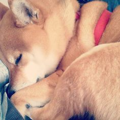 Shiba inu #dog #animal #shiba #inu