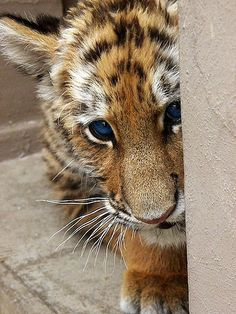 Cute baby tiger with blue eyes! <3