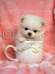 Pics For > Teacup Pomapoo Puppies