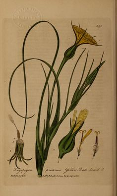 v.5 - British phaenogamous botany, - Biodiversity Heritage Library