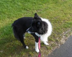 Bess may be ancient, but she loves her walks! Fair Isle Knitting, Scottie, Walks, Woking, Scottish Terrier, Ravelry