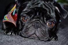 #Pug, #Carlino, #Black, #Mops, #Beauty, #nosed-pug
