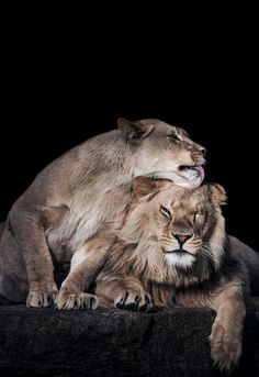 Lion Siblings III (by Abeselom Zerit)