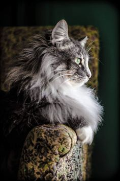 Norwegian forest cat Seems to loon similar to a Maine Coon but no ear tufts. Pretty Cats, Beautiful Cats, Animals Beautiful, Cute Animals, Pretty Kitty, Cute Cats And Kittens, Cool Cats, Ragdoll Kittens, Tabby Cats