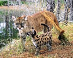 The Cougars The cougar otherwise called the panther, mountain lion, puma, or catamount, is a vast feline of the family Felidae l. Baby Animals, Cute Animals, Animals Images, Funny Animals, Gato Grande, Florida Panthers, Mountain Lion, Tier Fotos, Mundo Animal