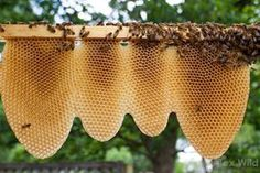 Freed from the confines of a beekeeper's square frame and artificial wax foundation, bees naturally build combs in U-shaped panels.