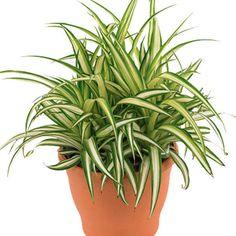 Dentro da sua casa há poluentes como benzeno, xileno, aldeído… Use plantas para filtrar o ar que você respira