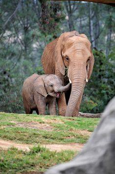 "funkysafari: ""African Elephants by clintnosleep """