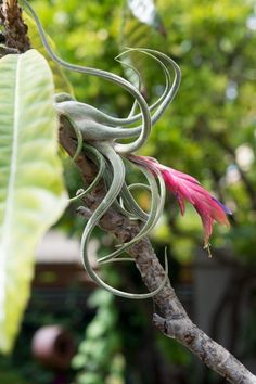 Air plants survive very well resting or tied loosely to trees with small canopies providing bright filtered light.