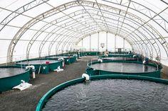 Fish farming done responsibly Aquaponics Greenhouse, Aquaponics Fish, Hydroponic Gardening, Hydroponics, Shrimp Farming, Fish Farming, Sustainable Farming, Urban Farming, Commercial Farming
