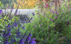 How underplanting with salvias can keep roses healthy