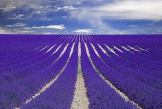Fields of lavender in France.
