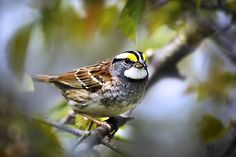 white throated sparrow - Google Search