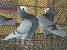 Red-barred mookee (mukhi, mukhee) pair. 6-week old. Imported lineage. Good show quality pair. Narrow tailed and good rigorous neck shake.