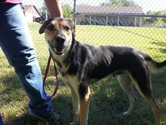 This is Scout #161CR. He is such a mellow and loving dog! He's leash trained! He is a 12-18 month old shepherd mix. He was surrendered at the shelter 9/27/13.