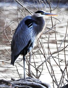 blue heron  Saw them up in New Hampshire camping up in the woods