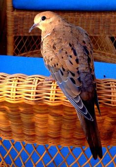 a special Mourning Dove paid my family a visit in our time of mourning. Here she is. Photo by Burt Warner