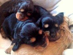 Pedigree KC Registered Cocker Spaniel Puppies in Cupar, Fife born 19/01/13