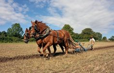 Suffolk Punch horses on Gressenhall Farm