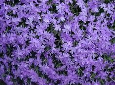 Myrtle is a trailing and vined subshrub. Myrtle always covers the ground rather than intertwining or climbing like other vines. Phlox Plant, Online Plant Nursery, Creeping Phlox, Emerald Blue, Ground Cover Plants, Pink Garden, Plant Sale, Plant Needs, Beauty Photos