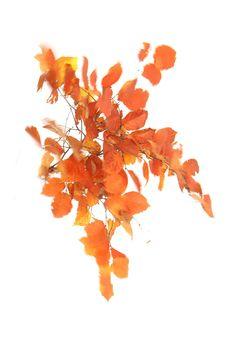 beech tree in october (mary jo hoffman)