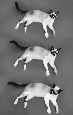 Gato cat preto e Branco p&b siameses siamês fofo cute meow miau  gatinho Brasil BR japan Japão China