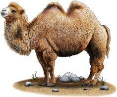 bactrian_camel ink illustration stipple