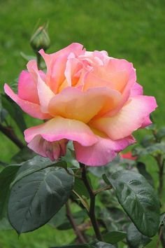 Chicago Peace Rose - One of my favorite roses! We have them in the Peace Garden at the Capitol.