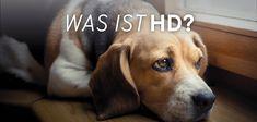 HD bezeichnet eine Hüftdysplasie bzw. Hüftgelenksdysplasie und ist eine häufig bei Hunden auftretende Erkrankung. Aufgrund der Symptome kann es auch zu Verwechslungen mit Arthrose kommen. Was steckt dahinter und was hilft wirklich gegen HD beim Hund? Dogs, Animals, Confusion, First Aid, Pet Dogs, Animales, Animaux, Doggies, Animal