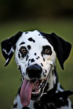 """earthlynation:  """"Happy Dalmation. Source  """""""