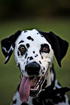 Happy Dalmatian.