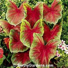 Caladiums  my favorite plants in the world besides elephant ears