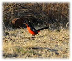 Lets not forget the little creatures, the are very difficult to pin down for a photo - such awesome bright reds - managed to get a quick snapshot. Very Difficult, South Africa, Wildlife, Forget, Creatures, Bright, Bird, Landscape, Awesome