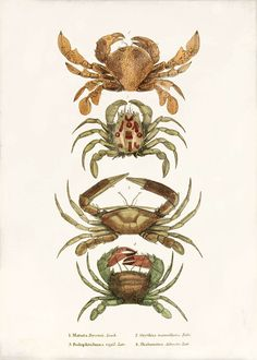 Antique Crab Art Print  5 x 7  Crabs by 1001treasures on Etsy, $10.00