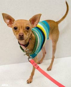Our Pet of the Week is Karma! This sweet one year-old Chihuahua loves people and other dogs. Adopt her today! http://www.aspca.org/nyc/adoptable-dogs/karma-a17566897